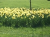 stefeny: (daffodils)