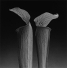 fiction_shed: (Mapplethorpe's Double Jack-in-the-Pulpit)