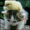 arabesque: A kitten with a chick on its head (teamwork?)