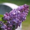 eor: (lilac)