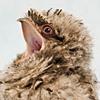 dromaeosaur: ([bitty frogmouth] Rawr!)