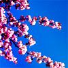 maleyka: (misc} cherry blossom girl)