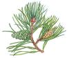 alicephilippa: (scots pine)