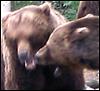 quatorze: (bearfight)
