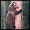 quatorze: (bear in tree)