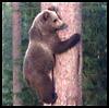 quatorze: (bear in tree)