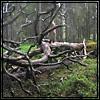 quatorze: (old tree)
