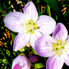 kay_brooke: Three light purple flowers against a green background (flower)