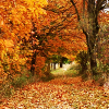kay_brooke: A forest corridor in autumn, the path carpeted with leaves (autumn)