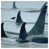 treow: (Orca Pod)