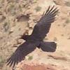telegramsam: A flying raven (raven)