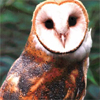 wist: (saturated barn owl)