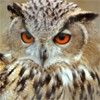 wist: (owl of many expressions)