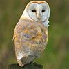 wist: (light barn owl)