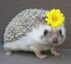 erinacea: (flower)