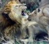 ledilid: (двоє - лев і молода левиця)
