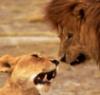 ledilid: (двоє - лев і левиця)