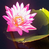 zephre: Pink lotus in evening light, at Longwood Gardens. (Default)