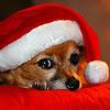 angelshill: (santa dog)