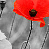 msbee: red poppy (default)
