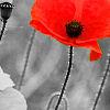 msbee: red poppy (gen: poppies, default)