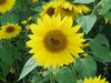 ailbhe: (sunflower, bee)