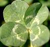 jeshyr: Four-leafed clover (Four-leaf Clover)