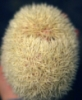 mellotron_breakfast: An albino hedgehog rolled into a quillball. (albino, hedgehog)
