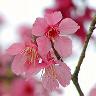 starandrea: (cherry blossom)