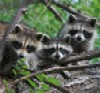 electricland: (Raccoons)