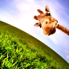 whymzycal: a giraffe at an odd angle (Default)