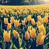 whymzycal: a field of yellow tulips (yellow tulips)