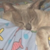 jeshyr: Sleeping cat draped over cushions (Ani asleep, Ani, Cat)
