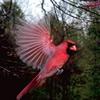 redbird: a male cardinal in flight (cardinal, birding)