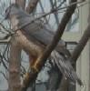 redbird: Cooper's hawk, sitting on a branch (sitting hawk, cooper's hawk)