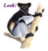 "redbird: Picture of an indri, a kind of lemur, the word ""Look!"" (indri, links)"