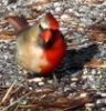 redbird: a two-gendered cardinal, female one side and male the other (two-gendered cardinal)