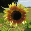shallowz: (Sunflower)
