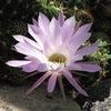 ellarien: pink cactus flower (pink)