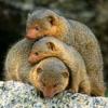 rike_tikki_tavi: cuddle pile of mongooses (Default)