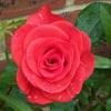 themis1: (tvp rose)