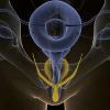 elf: CG rendering of internal erect clitoris (Internal)