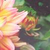 almost_paradise: (dahlia)