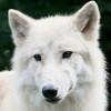 shelbyrou: (wolf)