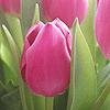 laitaine: (flowers - pink tulip)