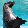 playinthewaves: Clapping Seal (Default)