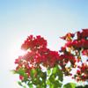 retrosunshine: (red flowers)