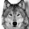 luellonjewel: (Wolf)