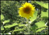 fledgist: (sunflower)
