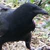 korone: a photo of a crow (a crow, a crow) (Default)